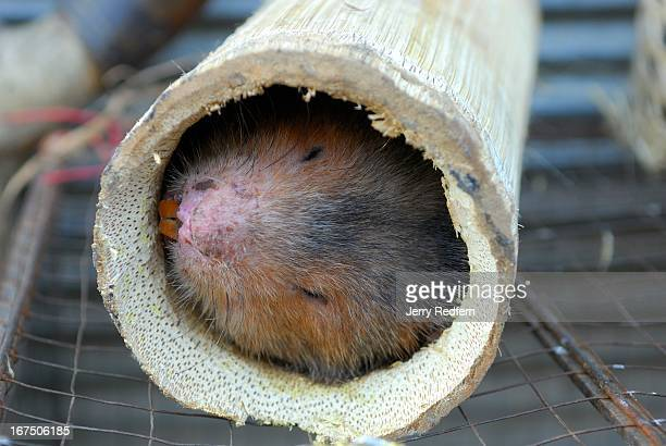 A live bamboo rat for sale at a food stall at the evening market still in its bamboo home