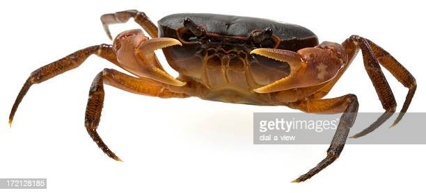 live crab - crab stock photos and pictures