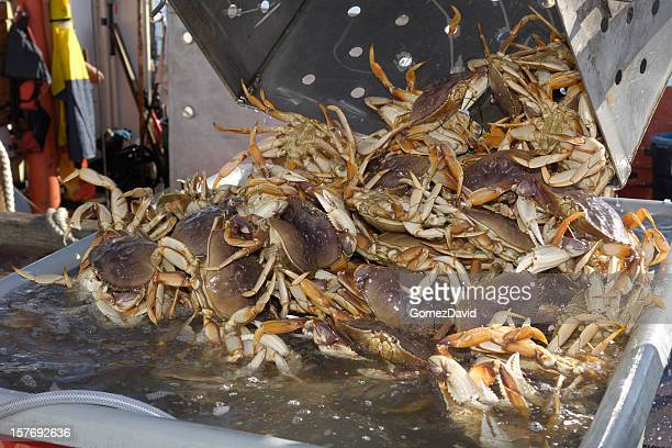 Live Dungeness Crabs Being Dumped into Shipping Container