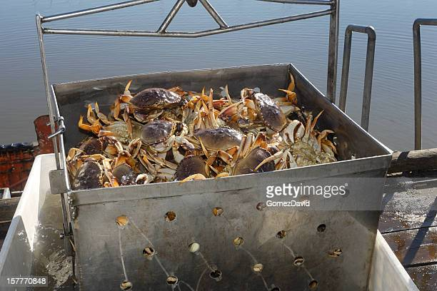 Live Dungeness Crabs Being Off-Loaded into Container