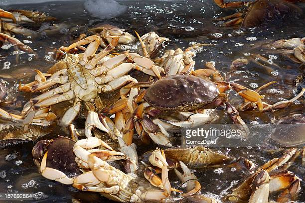 Live Dungeness Crabs in Shipping Container