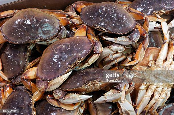 Live Dungeness Crabs Ready for Market