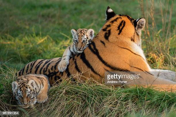 live for now - cub stock pictures, royalty-free photos & images