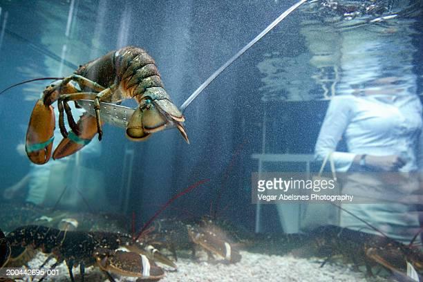 live lobster in tank - tanque de armazenamento imagens e fotografias de stock