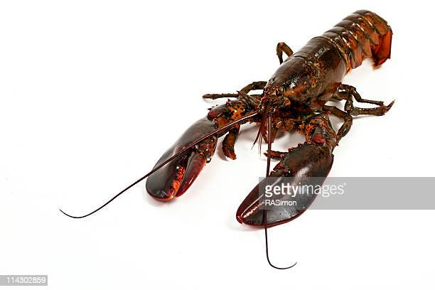 live de homard - homard photos et images de collection