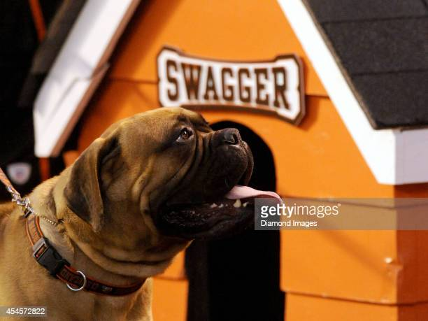 Live mascot Swagger of the Cleveland Browns looks toward the stands during a preseason game against the Chicago Bears on August 28 2014 at...