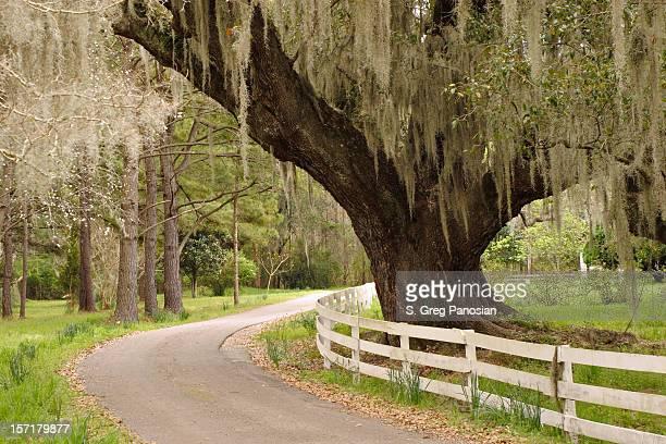 live oak y musgo español - musgo español fotografías e imágenes de stock