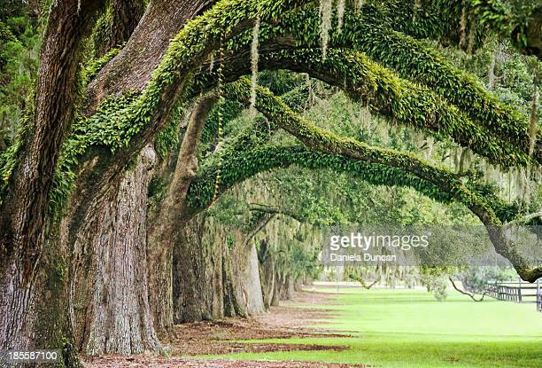 live oak archway at boone hall - boone hall plantation stock pictures, royalty-free photos & images