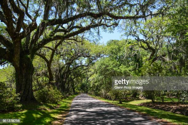 live oak canopy - live oak tree stock pictures, royalty-free photos & images