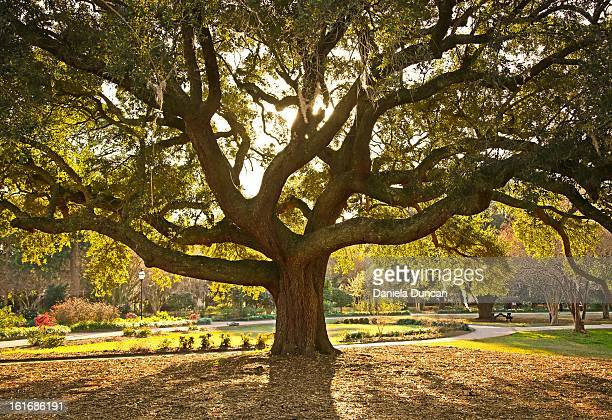 live oak - oak tree stock pictures, royalty-free photos & images