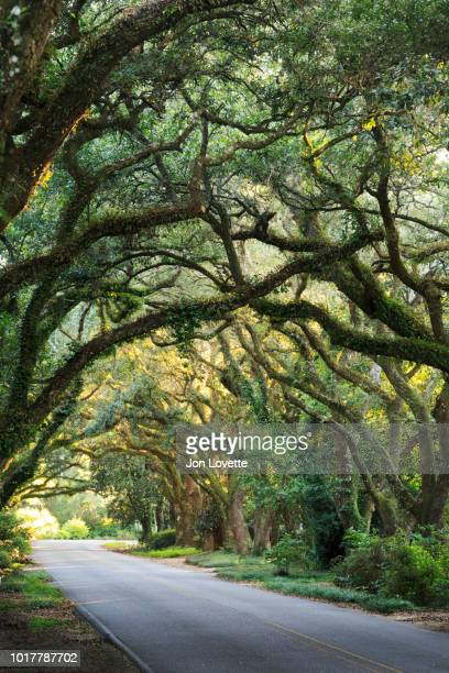 live oak tree allee in alabama - live oak tree stock pictures, royalty-free photos & images