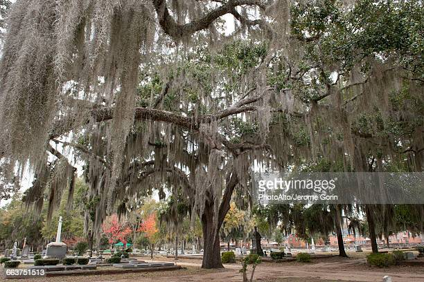 live oak tree covered with spanish moss in old live oak cemetery, selma, alabama, usa - spanish moss stock pictures, royalty-free photos & images