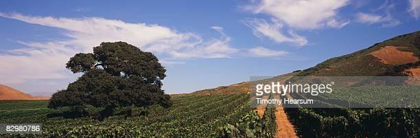 live oak tree in vineyard - timothy hearsum stock-fotos und bilder