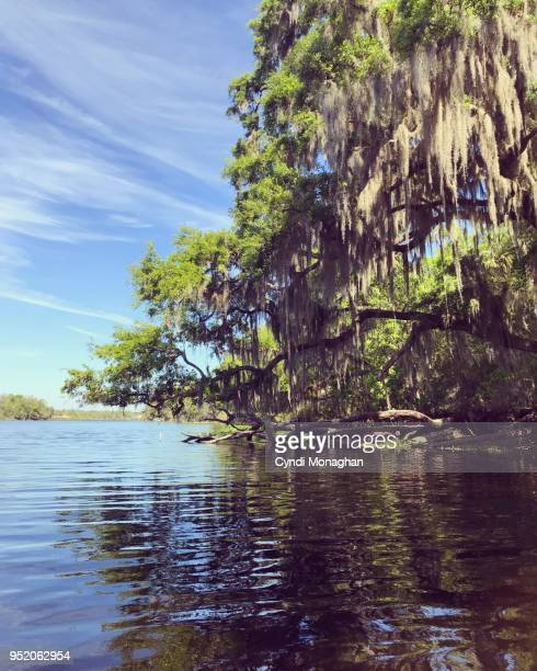 live oak tree stretched out over a river with spanish moss in florida - spanish moss stock pictures, royalty-free photos & images