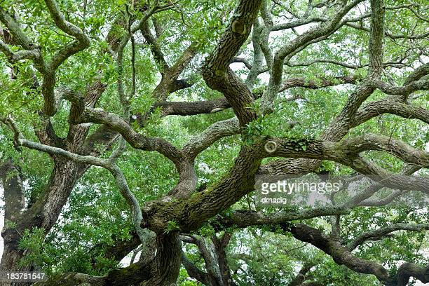 live oak tree with numerous sprawling branches and green leaves - live oak tree stock pictures, royalty-free photos & images