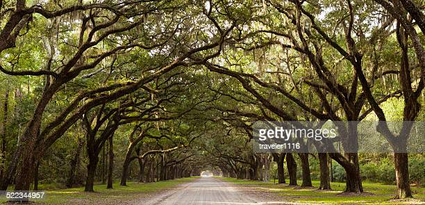 live oak trees from georgia, usa - spanish moss stock pictures, royalty-free photos & images