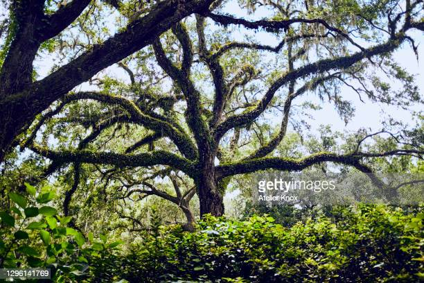 live oak trees of eden gardens state park - florida us state stock pictures, royalty-free photos & images