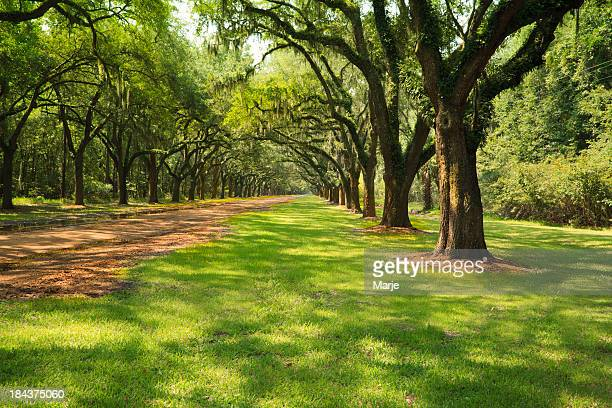 live oak trees - live oak tree stock pictures, royalty-free photos & images