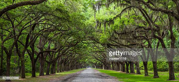 live oak trees - southern usa stock pictures, royalty-free photos & images