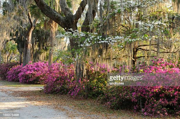 live oaks, flowering dogwood and azaleas with spanish moss - live oak tree stock pictures, royalty-free photos & images