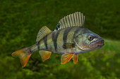 Live perch fish isolated on natural green background