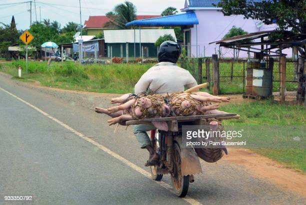 live pigs being transported by scooter in cambodia - phnom penh stock pictures, royalty-free photos & images