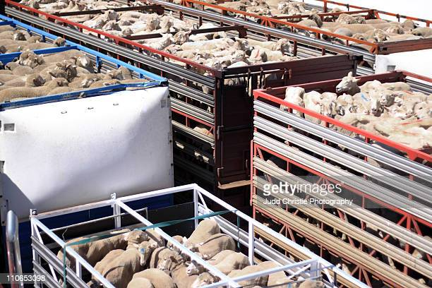 Live sheep being transported by truck