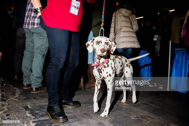 A Liver Dalmatian dog attends the annual Meet the Breed event ahead of the 141st Westminster Kennel Club Dog Show in New York US on Saturday Feb 11...