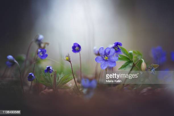 liverleaf - blue flowers - forest floor stock photos and pictures