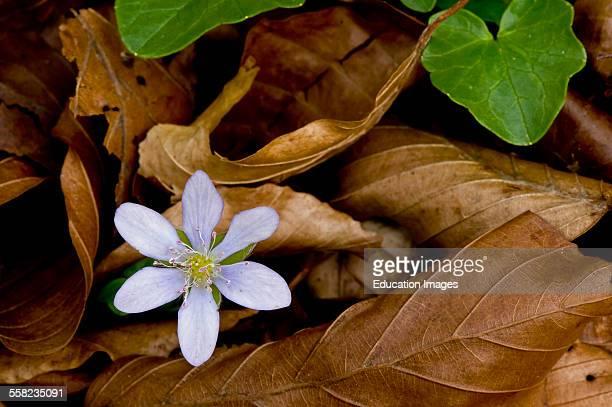 Liverleaf Hepatica nobilis Allindelille Fredskov Denmark