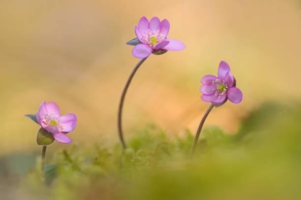 Liverwort (Hepatica nobilis), pink flowering, Bavaria, Germany