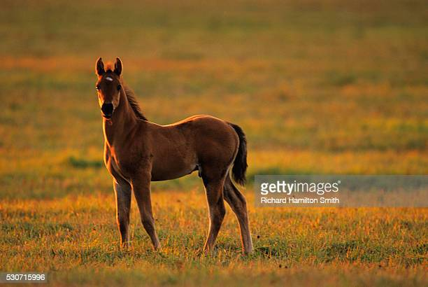 livestock - a young colt standing at attention on a green pasture in late afternoon light; douglas county, wisconsin, usa. - staadts,_wisconsin stock pictures, royalty-free photos & images