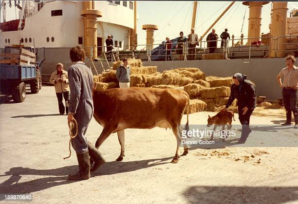 Livestock being unloaded from Dina Khalaf after 36 day journey from England. October 1983