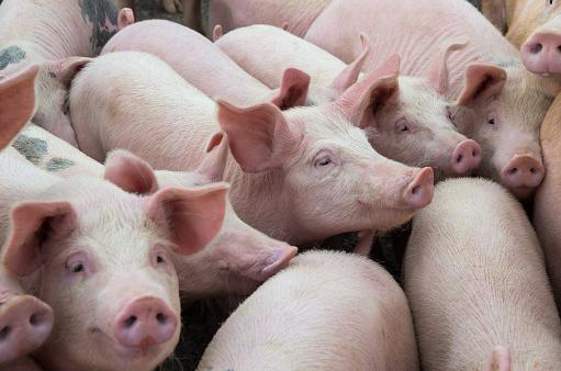 Livestock breeding. The farm pigs. 856508492
