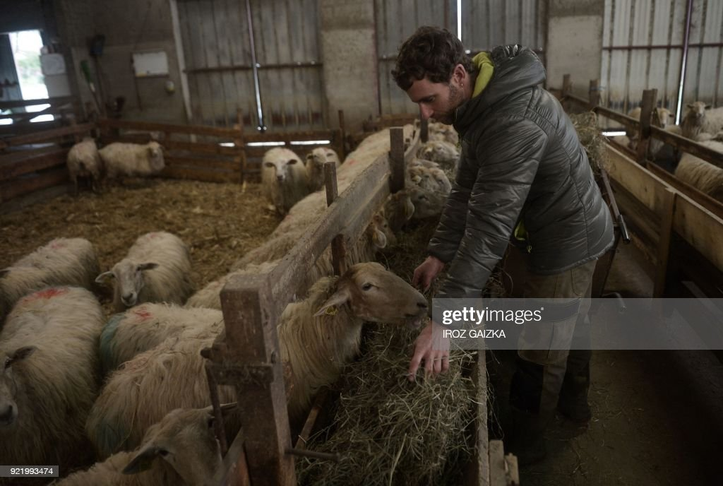 Livestock farmer Xabi Lopepe feeds his sheep in Larceveau on January 11, 2018. Lopepe, a 37-year-old farmer, is proud to be one of the founding members of the Cooperative laitiere de Pays Basque (CLPB), a milk cooperative, which was 'created in 2011 to anticipate milk crises, not because of them, but to anticipate them.' /