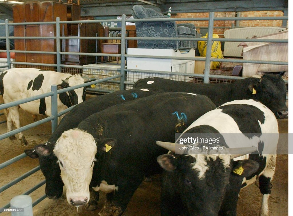 Livestock for auction stand in pens alongside others