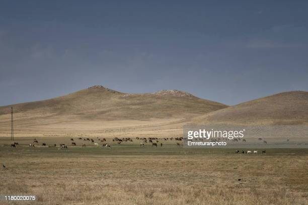 livestock grazing in the countryside near tuşba,van province. - emreturanphoto stock pictures, royalty-free photos & images