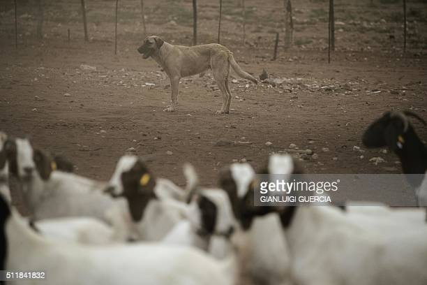 A livestock guarding Anatolian sheperd dog looks after goats and sheep on a farm to prevent Cheetah and other big predators from getting close on...