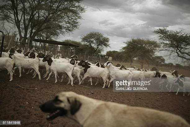 A livestock guarding Anatolian sheperd dogs looks after goats and sheep on a farm to prevent Cheetah and other big predators from getting close on...
