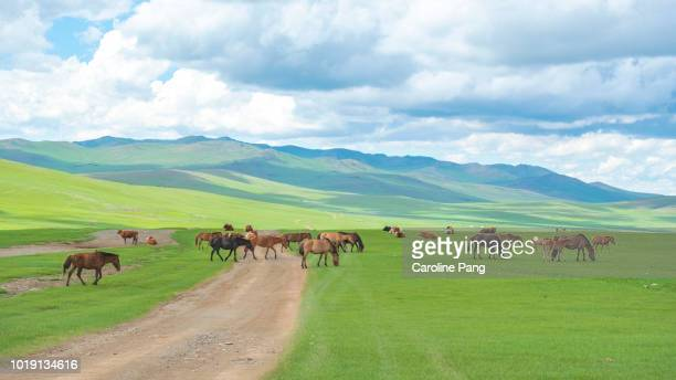 Livestock includes horses and cattle are grazing in the summer green pasture of Mongolia.
