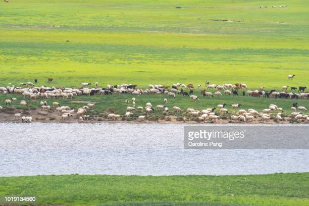 Livestock of the Mongolian nomads roamed in a herd to feed in the summer green pasture of Mongolia.