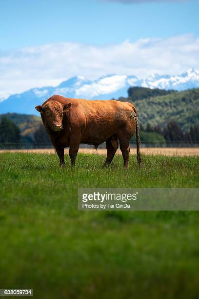 Livestock - Red Angus beef cow on a New Zealand background