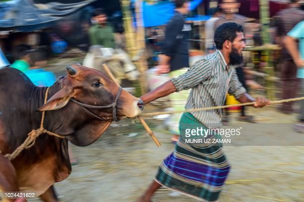 A livestock trader leads a cow at a cattle market in Dhaka on August 19 ahead of the Eidal Adha the feast of the sacrifice Islam's second biggest...