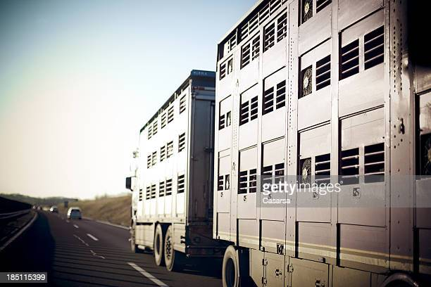 livestock transportation - livestock stock pictures, royalty-free photos & images