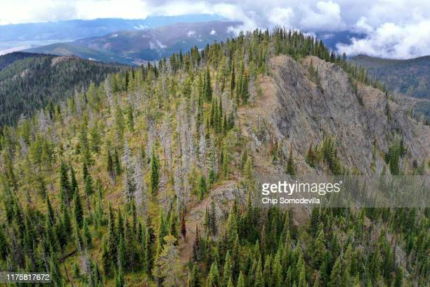 Living and dead whitebark pine stand together at a US Forest Service research and restoration site at the Snowbowl ski area in the Lolo National...
