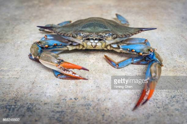 living blue crab - blue crab stock photos and pictures