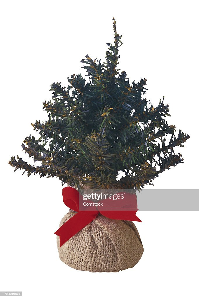 Living Christmas tree wrapped in burlap and red bow : Stockfoto