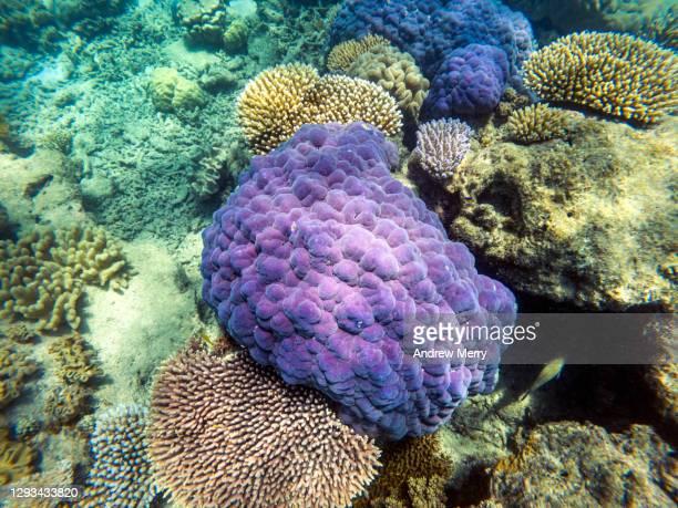 living coral reef underwater, great barrier reef - スクーバダイビングの視点 ストックフォトと画像