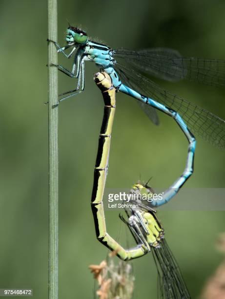 living heart - dragonfly stock-fotos und bilder