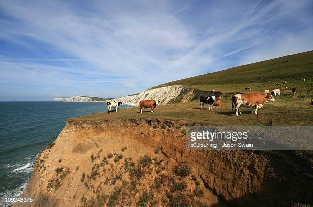 living on the edge - stunt cows on the cliffs - s0ulsurfing fotografías e imágenes de stock